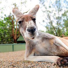 Assaltar um Zoo na Australia para roubar cangurus